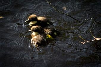 ducklings-5